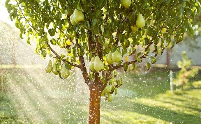 Fruit tree bearing fruit in the storm